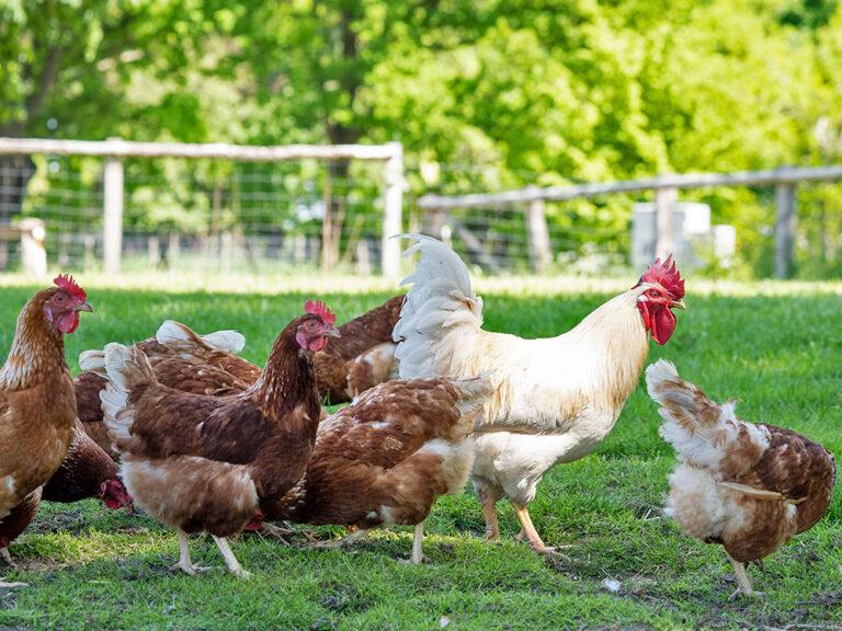 Hahn mit Hühnern in Freilandhaltung