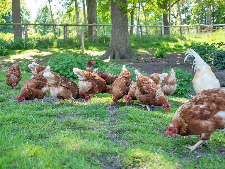 Hühner auf dem Grasland Hertz-Kleptow