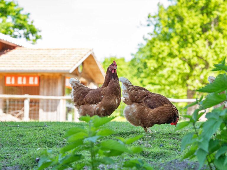 Hühner vor dem Hofladen Hertz-Kleptow