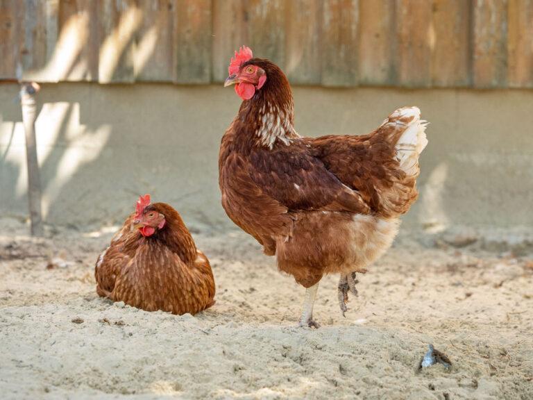 Hühner im Sand in Ohlenstedt