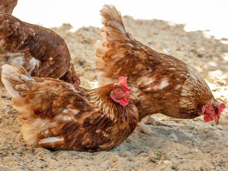 Hühner beim Sandbaden in Ohlenstedt