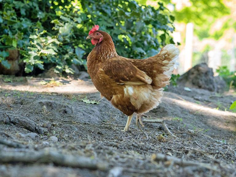 Freiland-Huhn im Schatten in Ohlenstedt