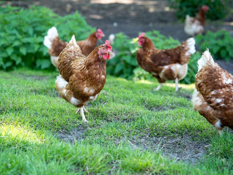 Huhn auf Grasland Hertz-Kleptow